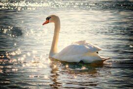 swan 2077219 640